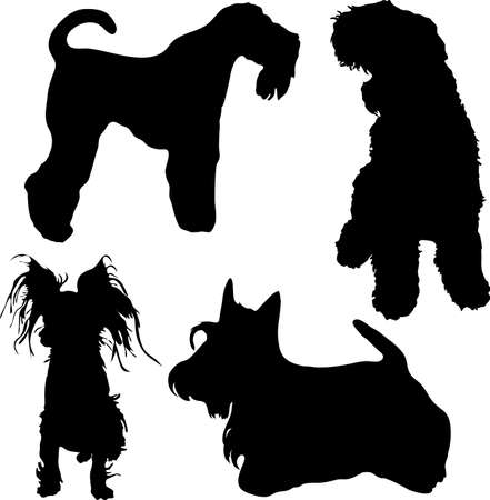 kerry blue terrier: Terriers Stock Photo