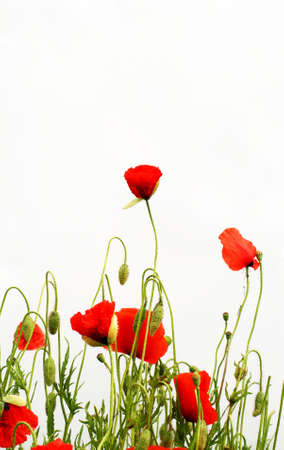 Poppies Stock Photo - 1193211