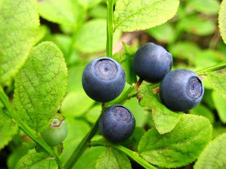 bilberries:  bilberries