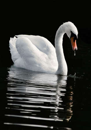 The swan admires the reflection photo