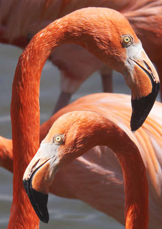 amorousness: Flamingos in love