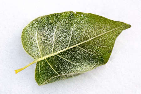 Leaf covered by winter treasures during strong frosts photo