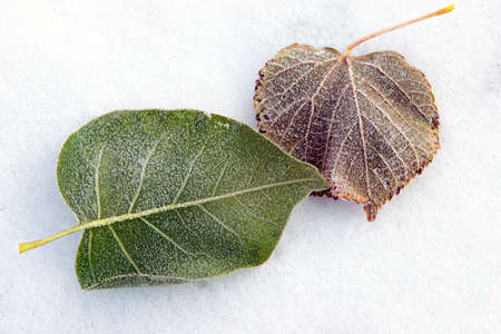 Leaves covered by winter treasures during strong frosts photo
