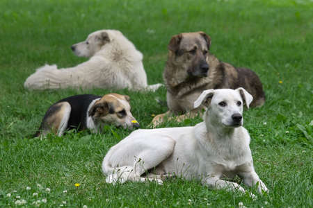 pitiful: Homeless dogs sleeping on wet  green meadow at  morning Stock Photo
