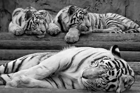 descendants: Greater white tigress and its kittens easy sleep on a wooden scaffold