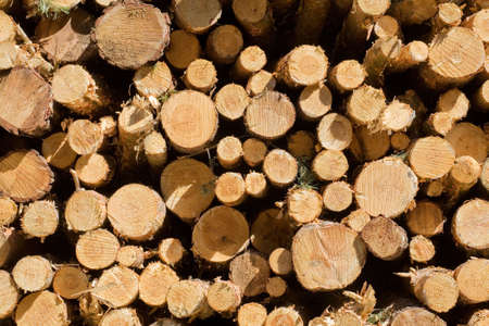 boles: boles of pines