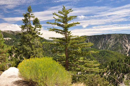 ponderosa: Mountaintop view of the San Bernardino forest in Southern California.