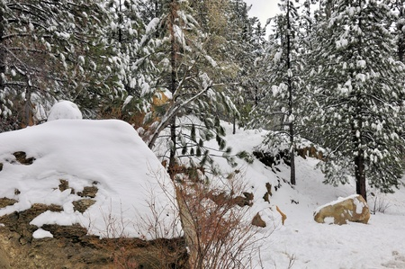 ponderosa pine winter: Snow covers the forest floor along with rocks and trees on Mount San Jacinto