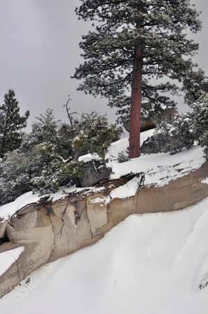 ponderosa pine winter: View of a snowy slope and pine tree on Mount San Jacinto  Stock Photo