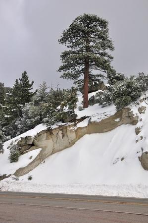 lone pine: Un �rbol de pino solitario se encuentra en esta pendiente de nieve en el monte San Jacinto