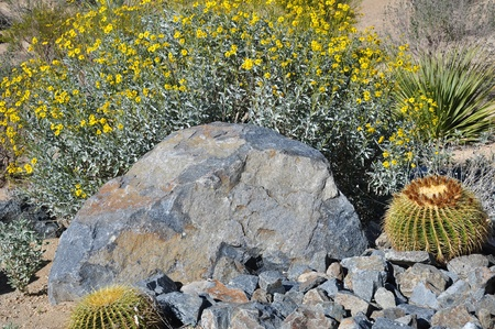 palm desert: Giallo fiori di mescolare con cactus barile d'oro e di pietre a Palm Desert, California Archivio Fotografico