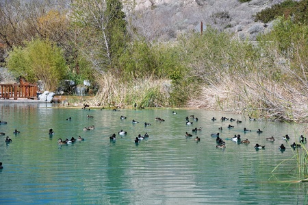 postcard back: A large gathering of ducks swim in a pond at Whitewater Canyon  Located near the desert town of Palm Springs, California
