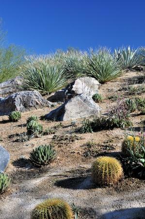 palm desert: Una variet� di cactus cresce su una collina a Palm Desert, California