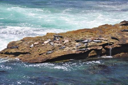 rugged terrain: Seals bask on a rocky ledge along the shoreline of La Jolla, California