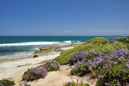 iceplant: Purple flowers grow along the shoreline at a beach in La Jolla, California