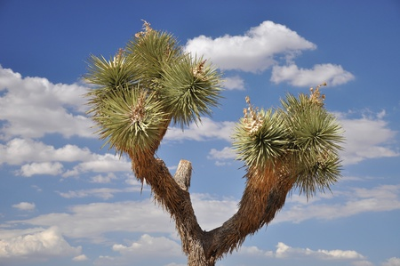 View of a Joshua Tree and a bright blue cloud-filled sky Stock Photo - 21549048