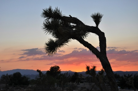 joshua: A single Joshua Tree is silhouetted against the sky at sunset