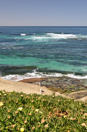 Ice plant with bright yellow flowers grows along the shoreline in La Jolla near San Diego.