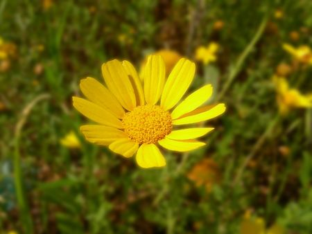 beuty of nature: Flower; Yellow camomile
