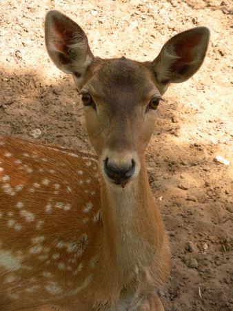 naivete: Babe-deer, zoo Kiryat Mothkin, Israel Stock Photo