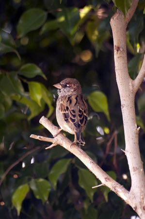 warblers: sparrow on a tree, forest Nesher, Israel