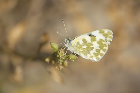 pedicel: butterfly on a pedicel close-up Stock Photo