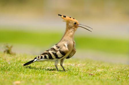 peculiar: hoopoe on a grass Stock Photo