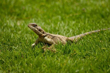 small lizard on a grass photo