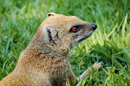 fussy: yellow mongooses on a grass close-up