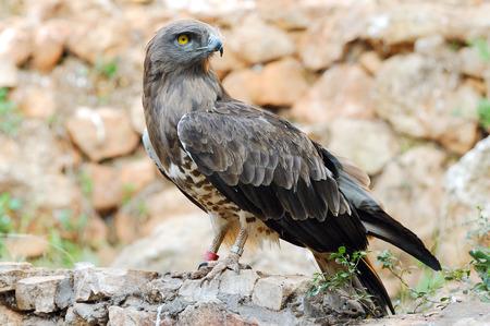 toed: Short toed eagle   circaetus gallicus   in zoo