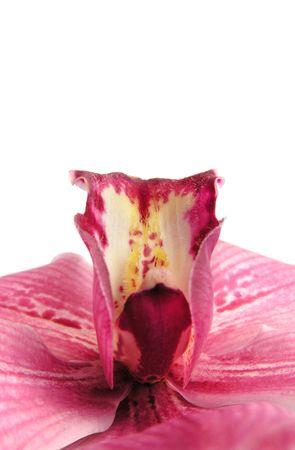 red orchid photo