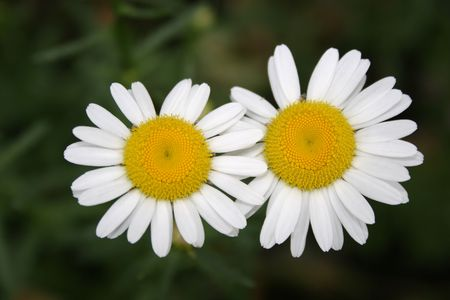 two camomiles Stock Photo - 573424