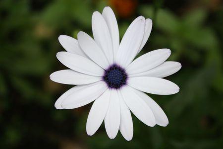 floristic: blue camomile