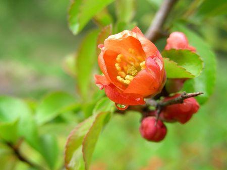 membrillo: floraci�n membrillo