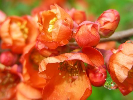 quince: flowering quince