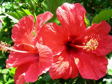flower of hibiscus Stock Photo - 451197