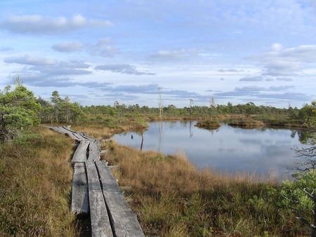 boardwalk trail: Marsh with plank bridge at autumn in Kemeri, Latvia