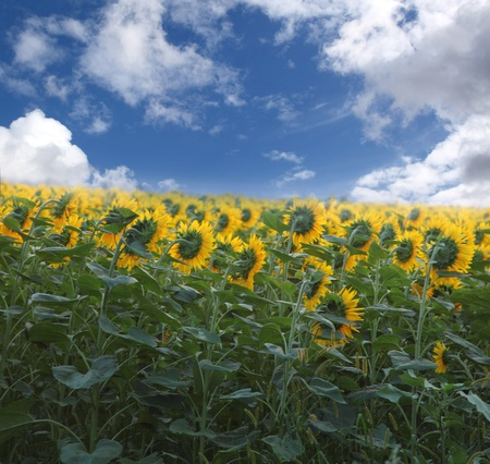 field of sunflowers. beautiful yellow flowers photo