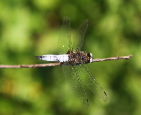 Dragonfly on a branch close. photo