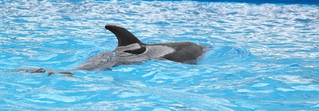 aciculum: dolphin in the water Stock Photo