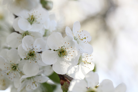 procesed: Spring blooming cherry. Petals on a flower cherry