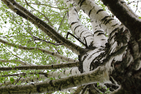 made russia: birch trunk and branches of birch close up Stock Photo