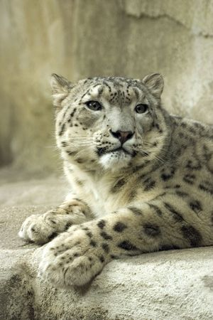 Snow leopard at the zoo photo
