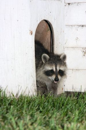 coons: Racoon coming out from a kennel