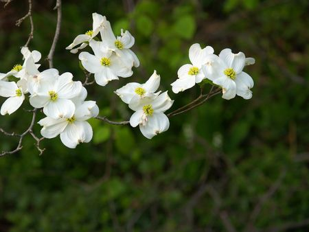 Sprig of dogwood blossoms against a dark background Stock Photo