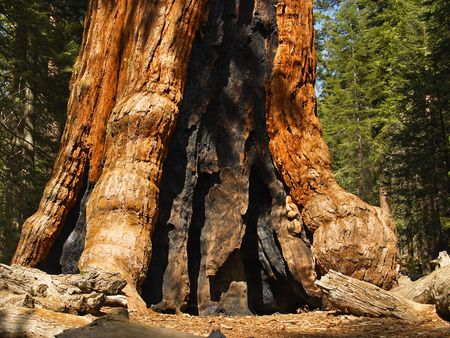 circumference: Base of Grizzly Giant, oldest sequoia in Yosemites Mariposa Grove
