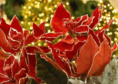 Bright red fabric poinsettia with lighted Christmas trees behind Stock Photo