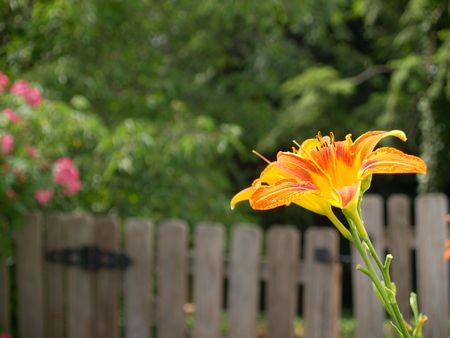 Tiger lily with tiny spider on a petal, gate and roses in background photo