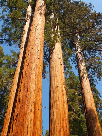 girth: Three tall giant sequoias towering overhead
