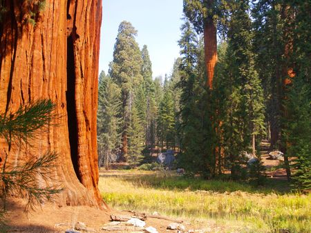 glen: sequoias on the edge of a meadow in Sequoia National Park Stock Photo